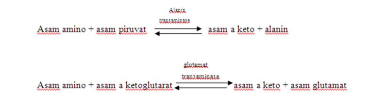 Metabolisme protein dan asam amino rochem wordpress pada reaksi ini tidak ada gugus amino yang hilang karena gugus amino yang dilepaskan oleh asam amino diterima oleh asam keto alanin transaminase merupakan ccuart Choice Image